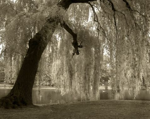 Beneath The Willow Tree Original Poem Recruiterpoet Blog